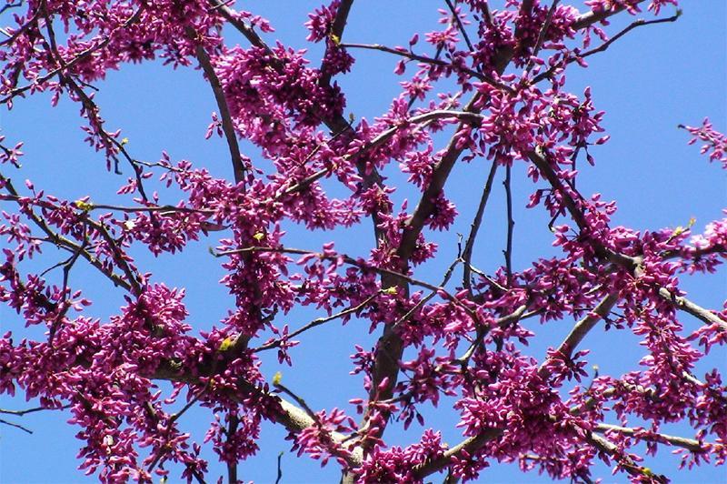 tree_pink_flowers